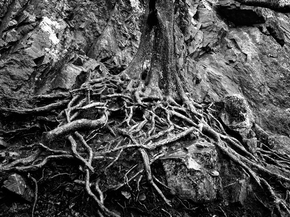 Tangle of tree roots in black and white