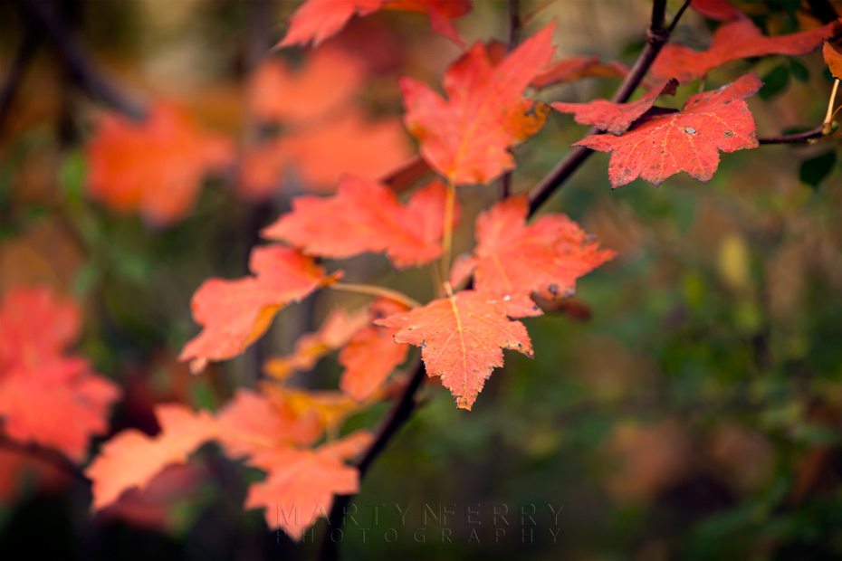 Bright red leaves of autumn at Monks Wood