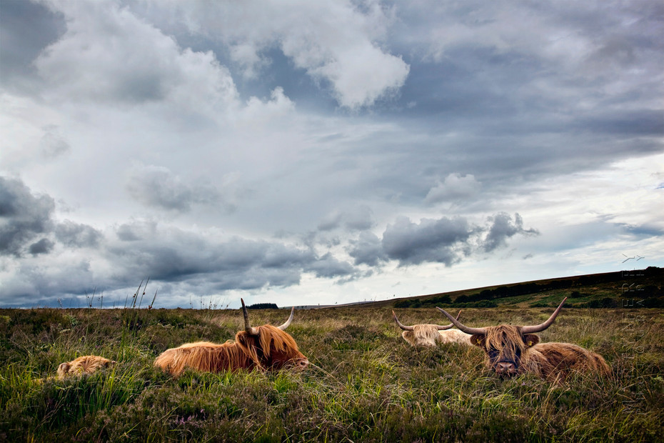 Image of a family of highland cattle at rest in Devon