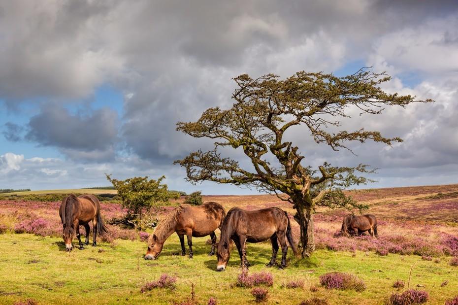Wild Exmoor ponies graze in the sunshine under a small tree