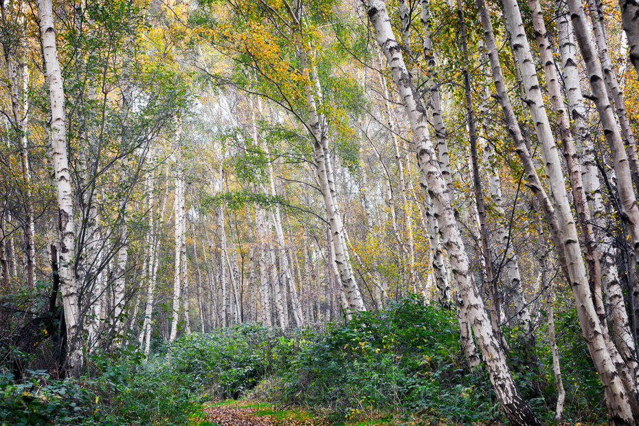 Silver birch trees reach to the sky at Holme Fen