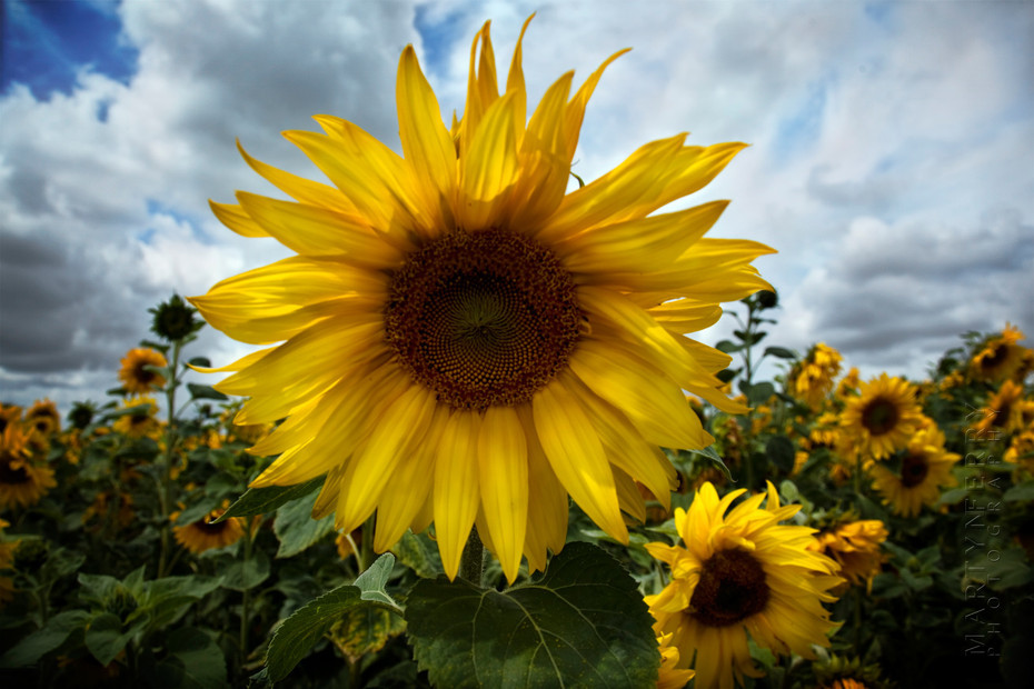 Sunflower image with stormy clouds behind