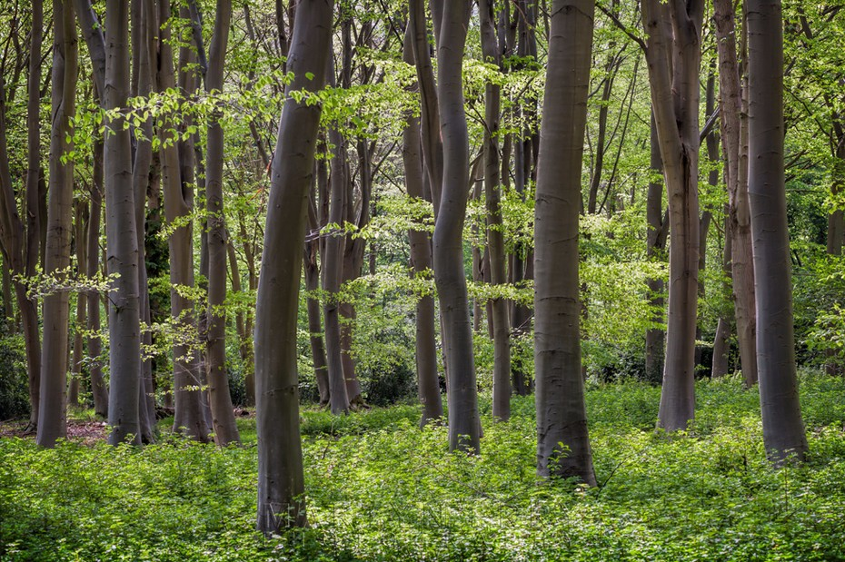 Tree trunks and spring green foliage at the beautiful Lynford Arboretum