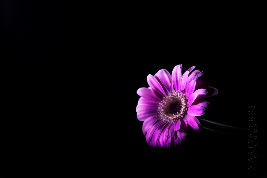 Fine art flower photography of a pink chrysanthemum