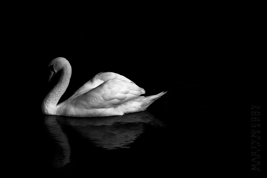 Tranquil photo of white swan on a black lake
