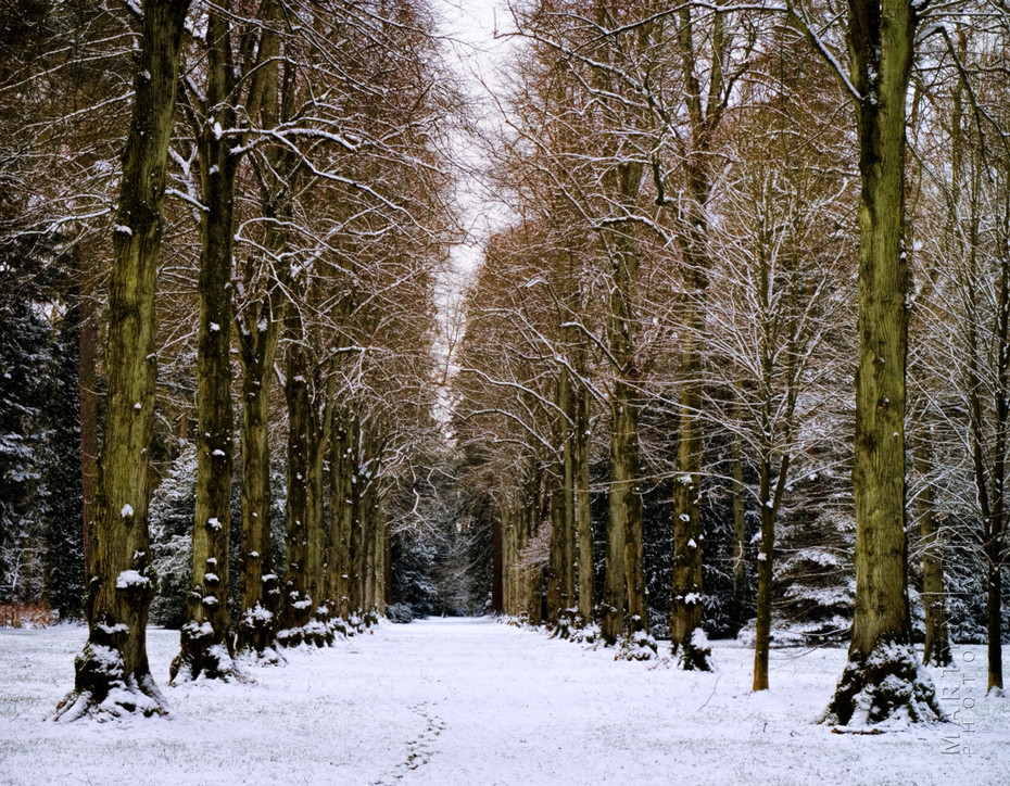 Impressive row of lime trees in the winter snow