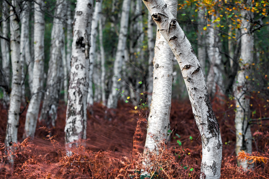 Silver birch trees among bright red ferns at Holme Fen