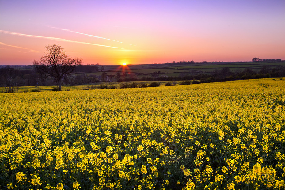 Beautiful sunset over a Cotswold rape field in spring