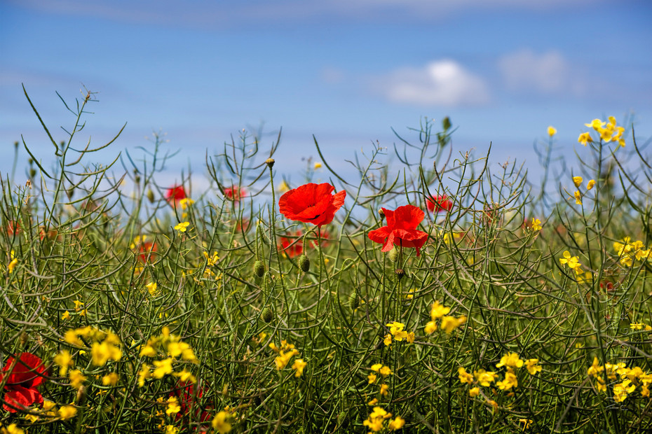 Nature image of red poppies among grasses