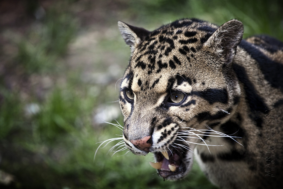 Rare clouded leopard bares his fangs
