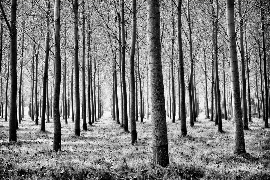 Black and white image of regimented trees in the Dordogne