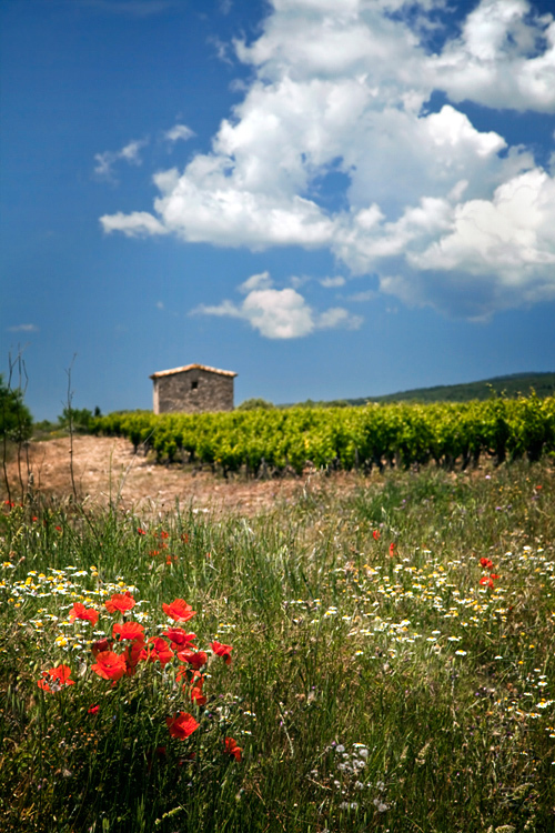 Vineyard and poppies under a blue sky