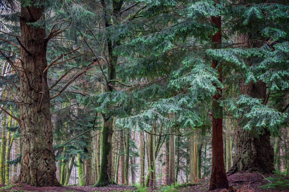 Fir trees in the New Forest National Park