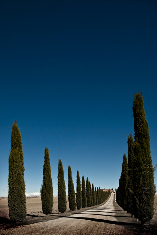Cypress Shadows - Italy