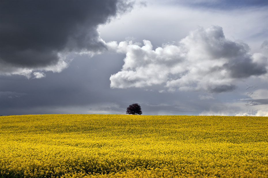 Yellow Cotswold field with lone tree and stormy skies