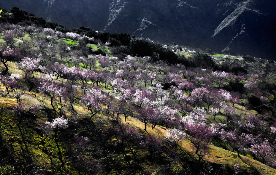 Nature image of hillside almond trees in blossom