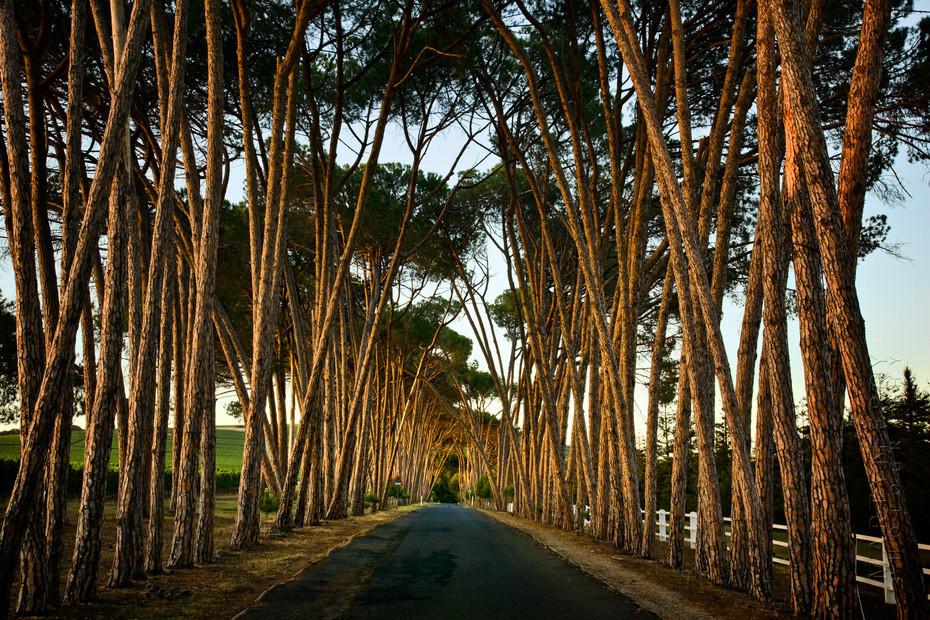 Stunning Neethlingshof pine trees
