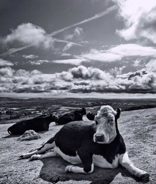 Amazing image of a cow relaxing on Dartmoor