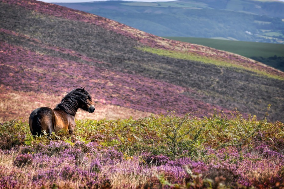 Exmoor pony with windswept mane looks over heather clad moorland