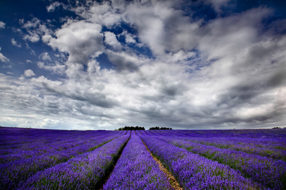 Photo of Snowshill Lavender rows under stormy clouds