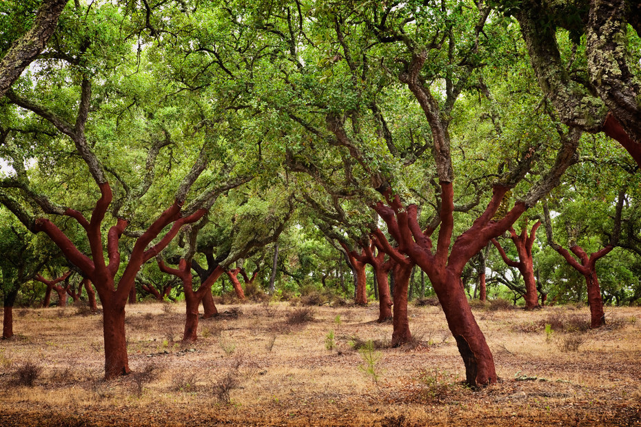 Vibrant image of red cork trees