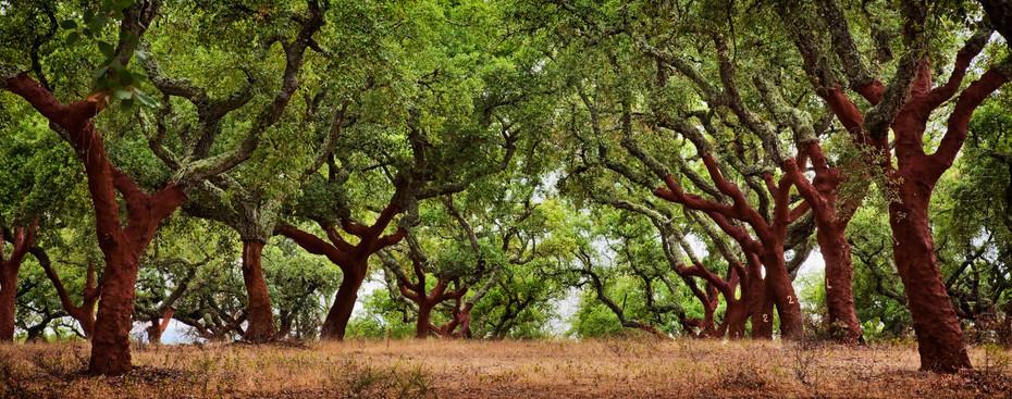 Incredible cork trees panoramic