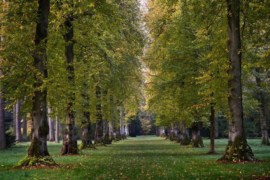 Beautiful row of huge trees at Westonbirt Arboretum