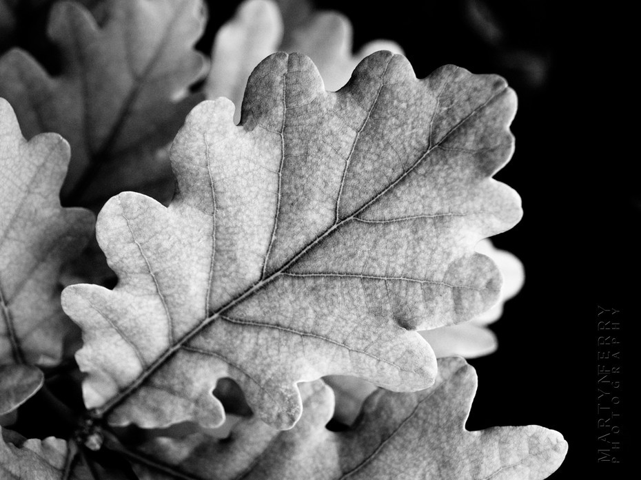Beautiful black and white image of an oak leaf in close up