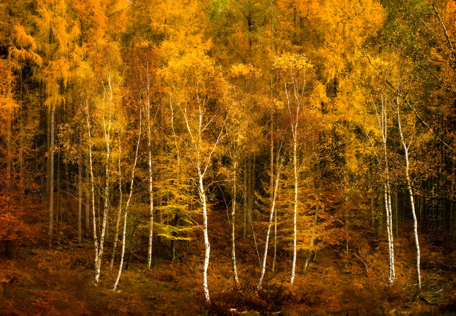 Stunning and vibrant image of Aspens in the New Forest