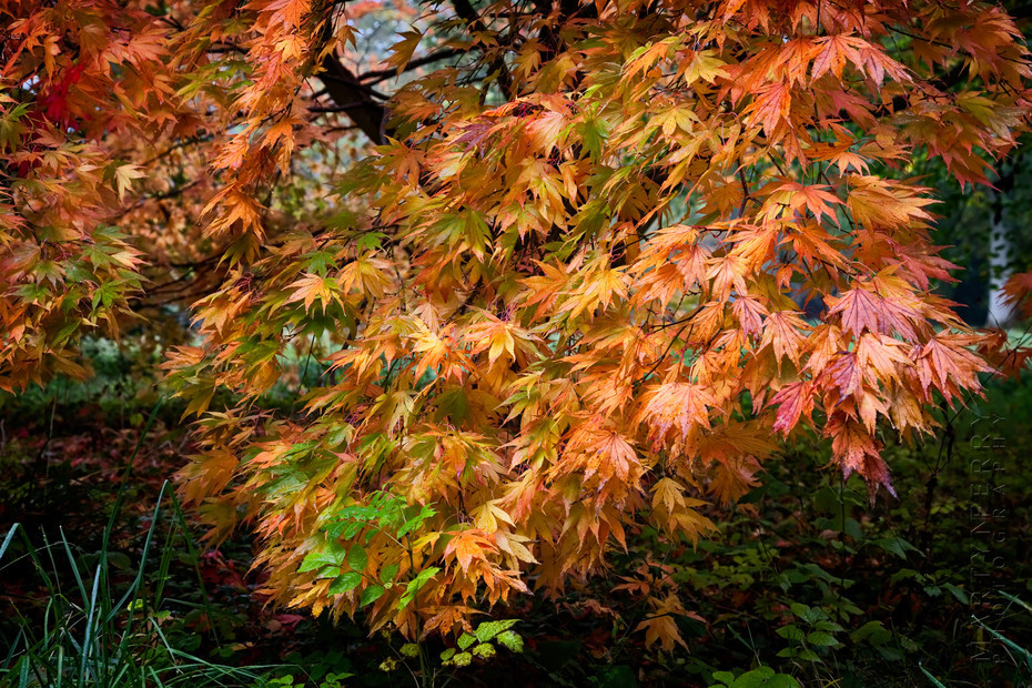 Colourful Acer Palmatum in autumn clothes