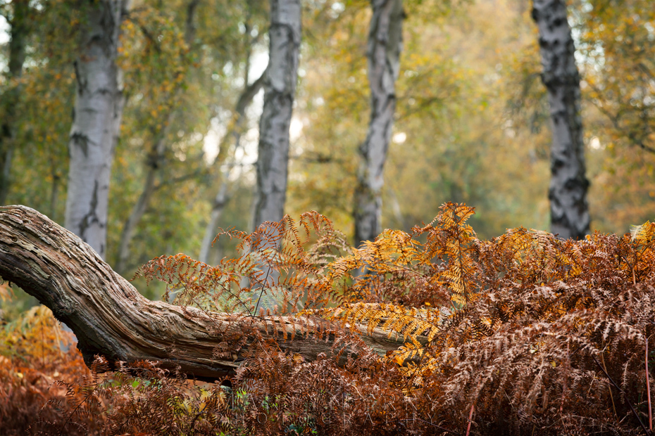 Old log surrounded by red ferns and silver birch at Holme Fen