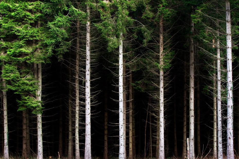 Beautiful image of Pine trees