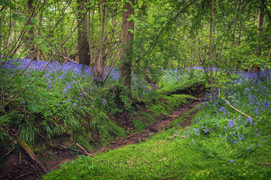 Bluebells line the bank of dry woodland stream