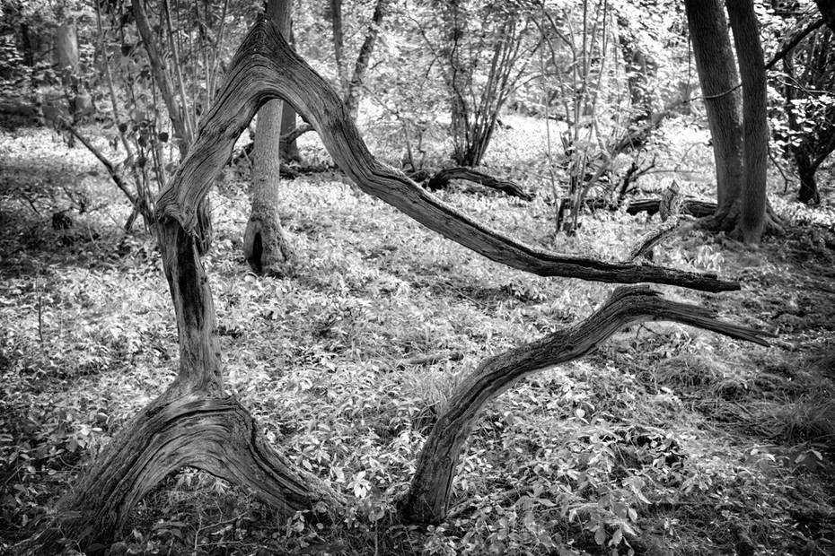 A natural tree sculpture in black and white at Hayley Wood Nature Reserve