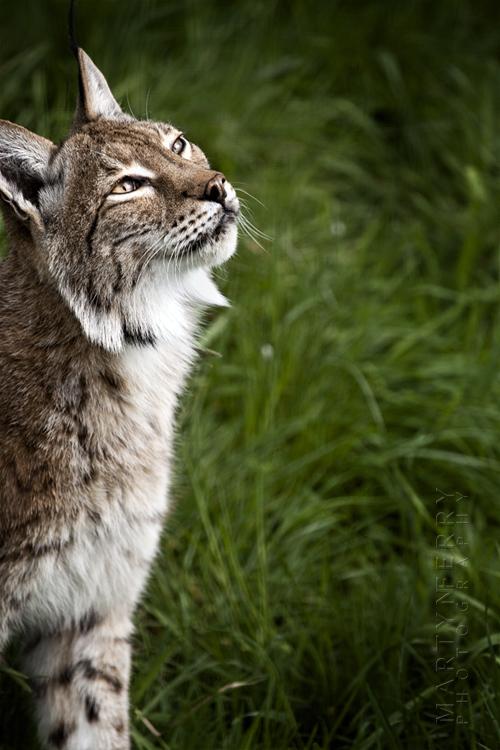 Eurasian lynx looks up to the sunlight
