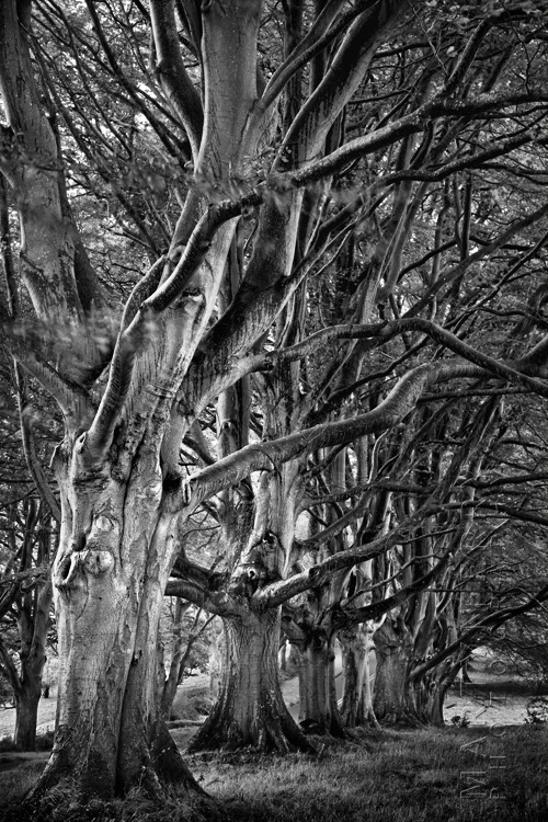 Elegant black and white photograph of ancient trees at Kingston Lacy