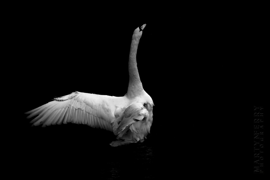 Beautiful image of white swan stretching his wings