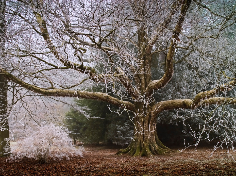 Striking image of giant tree covered in frost