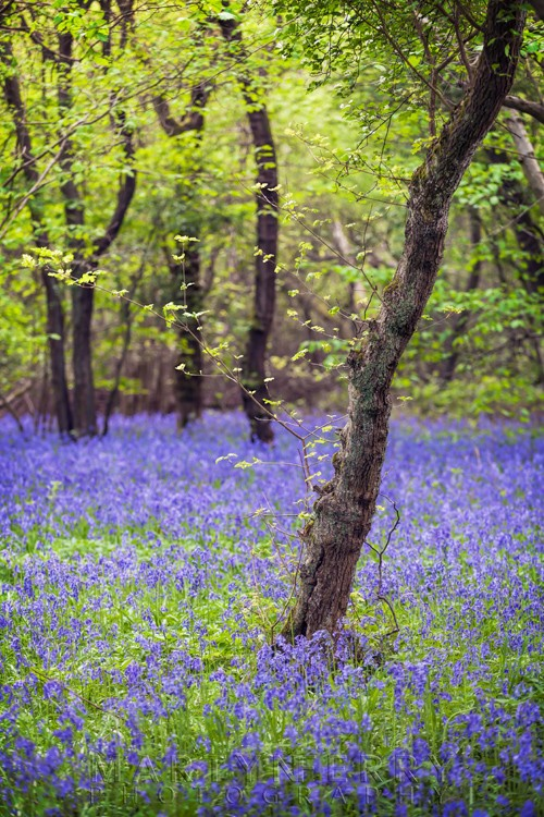 Spring green leaves over a carpet of bluebells at Brampton Wood