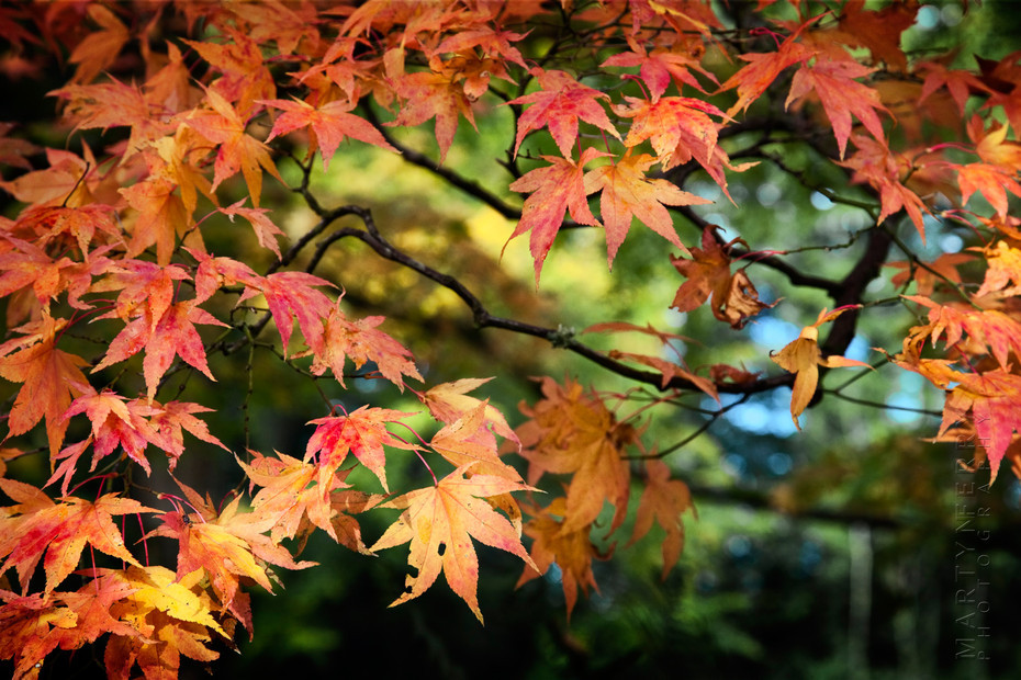 Stunning autumn colours on a Japanese Maple