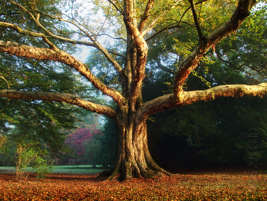 Beautiful warm image of Westonbirt Arboretum tree