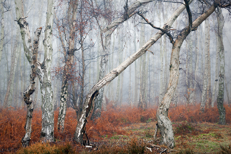 Line of silver birch trees in winter at Holme Fen