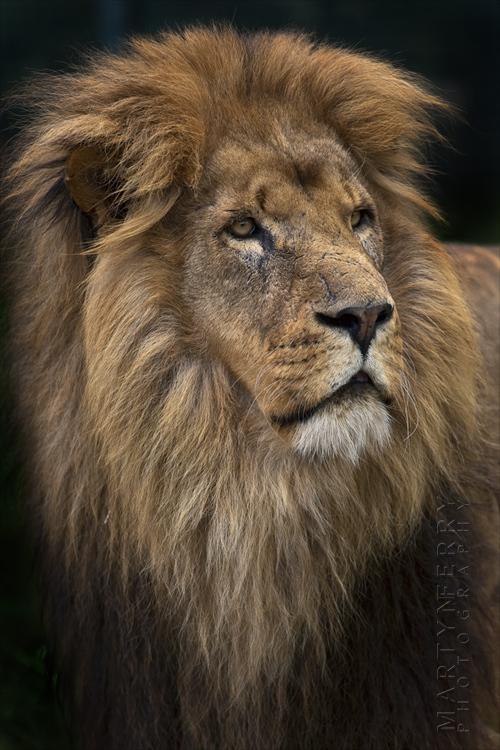 Majestic portrait of a male lion