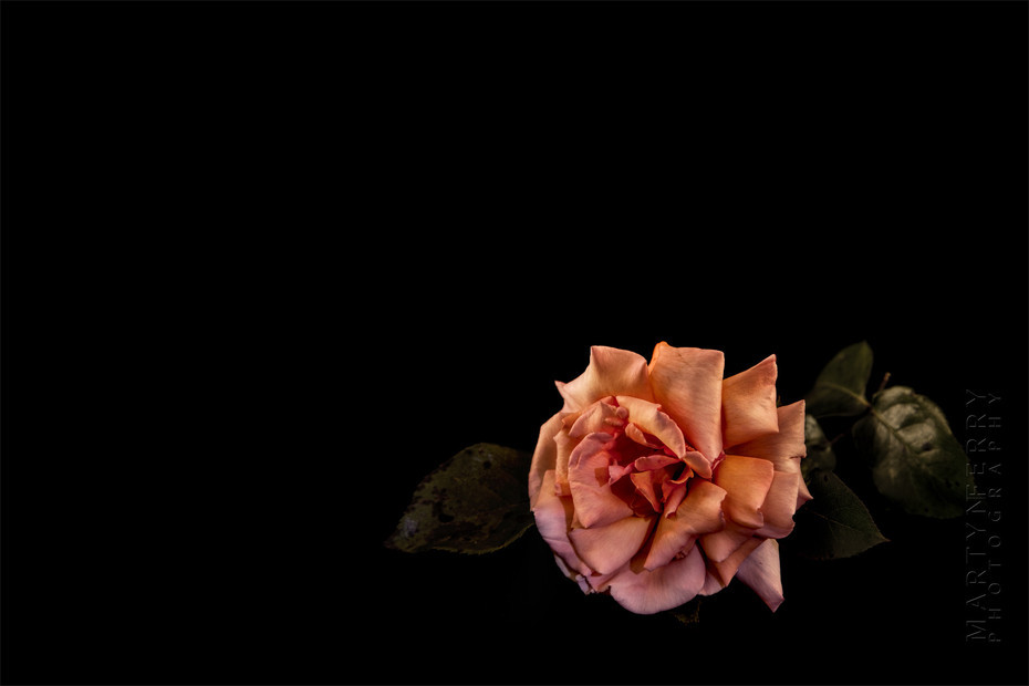 Fine art flower photography of a pink rose