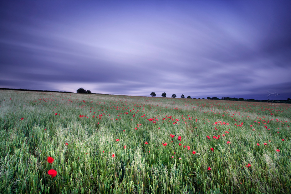 Image of a Cotswold poppy field under clouds moving across the sky