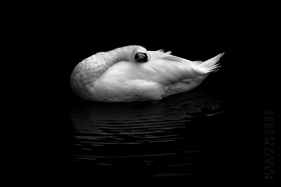 Striking fine art photo of white swan on black water
