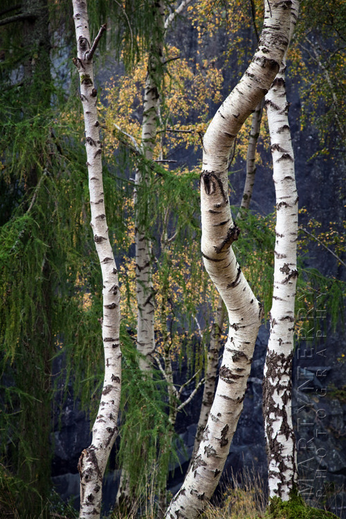 Beautiful silver birch trunks