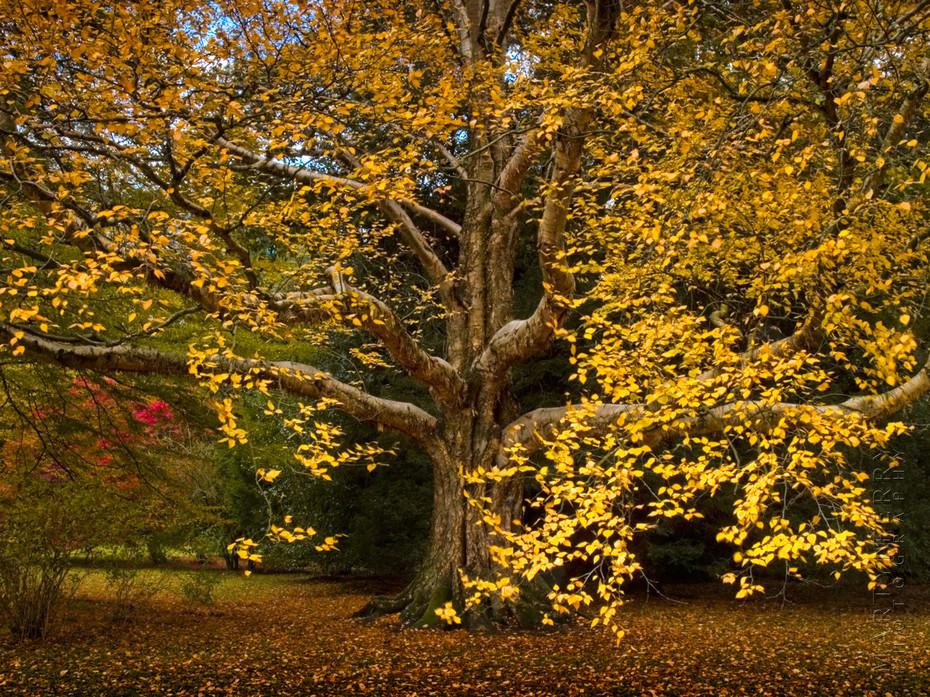 Stunning autumn colour on Betula Ermanii