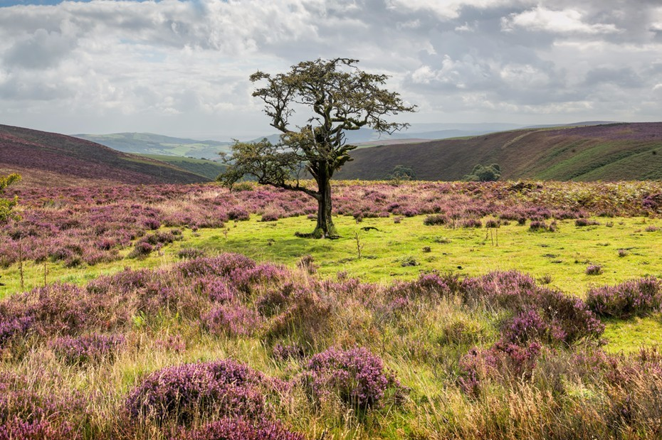 Single tree surrounded by heather in Exmoor National Park