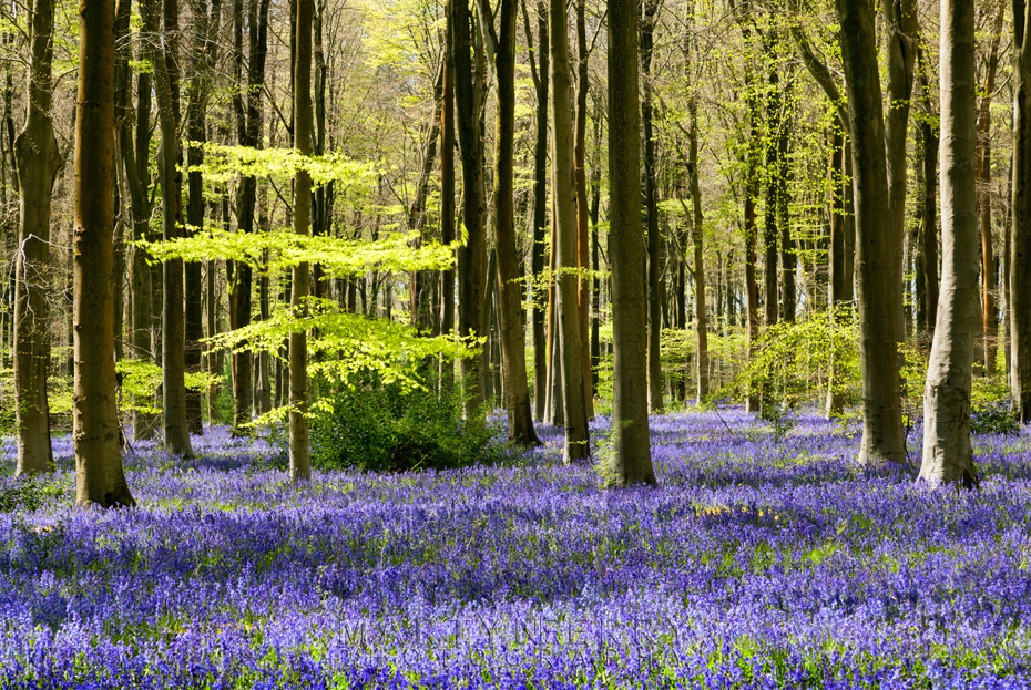 Carpet of bluebells at West Woods